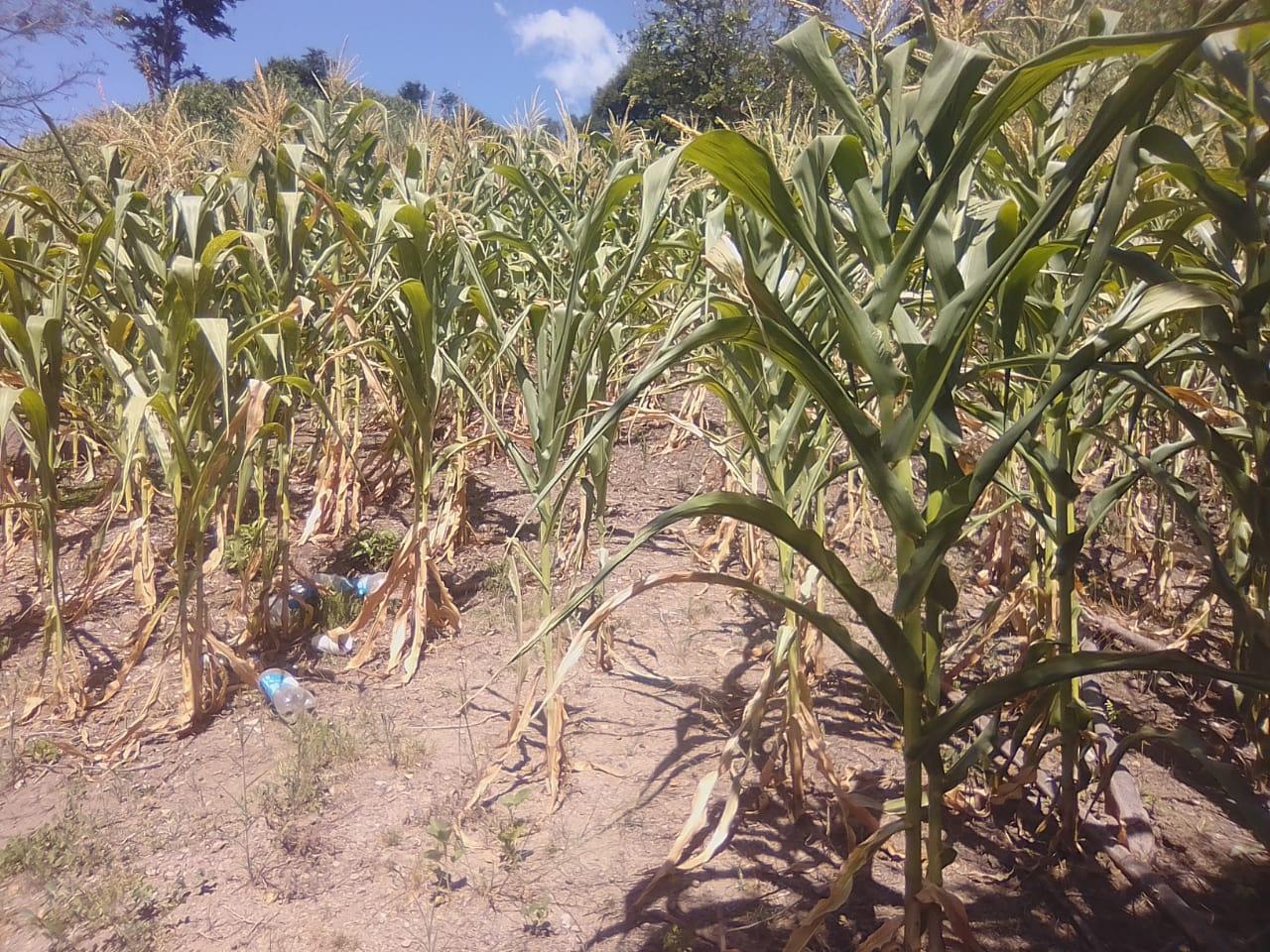 """Más de once mil familias productoras afectadas por la """"severa"""" sequía en Honduras"""