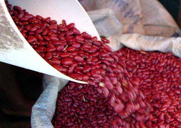 Con cosecha de postrera la SAG garantiza abastecimiento y precio del frijol
