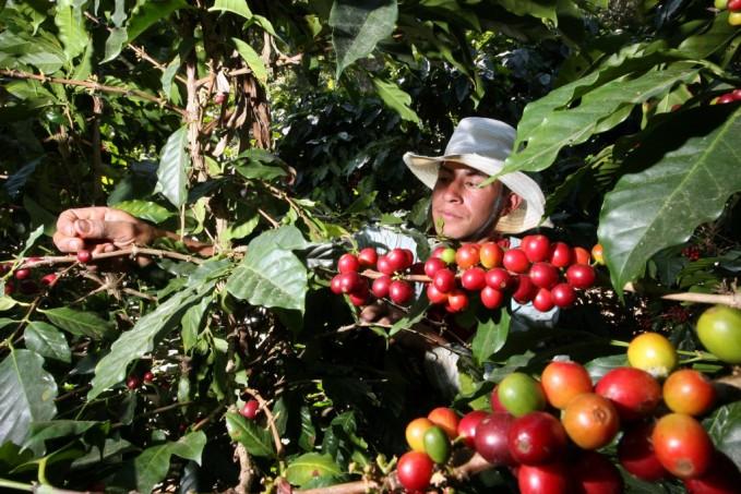 Productores requieren mas de un millón de personas para corte de café