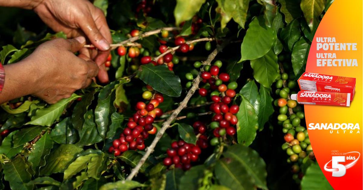 Autoridades hondureñas de Agricultura comienzan supervisión en fincas de café ante amenaza de nuevo hongo